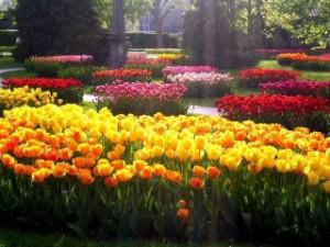 Виды, сорта цветов тюльпанов. Заболевания тюльпанов и как с ними бороться. Лечение больных тюльпанов.