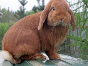 Miniature, Decorative, French lop-eared rabbit ram. Photos and descriptions