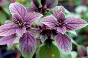 Proper cultivation of basil seeds in open ground or on a window sill at home