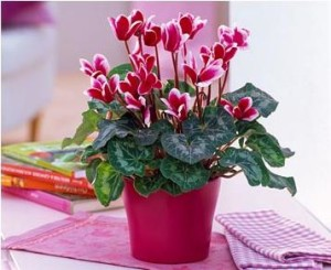 Planting, growing and care for cyclamen in the home, photos, description
