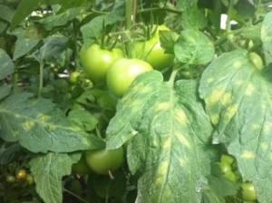 Kladosporioz tomatoes / tomato, photo and description