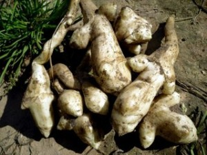 Useful fruit - Jerusalem artichoke (artichoke), growing in the garden, in the country. Photos and descriptions