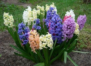 Hyacinth, care and cultivation at home, photos, description. How to fertilize