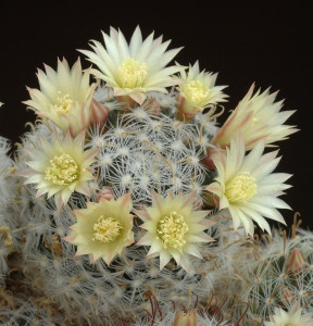 Indoor flowering cactus mammillaria, photos, description, how to look at home, watering