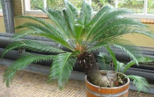 Cycas shrub, growing conditions and care in the room conditions, photos