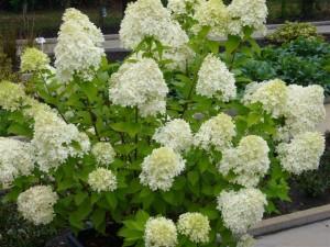 Hydrangea paniculata planting and care, breeding, fertilizer, photo, description