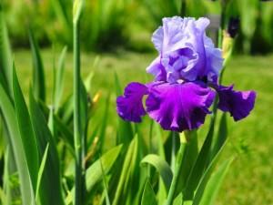 Reproduction iris rhizome, home care in the open field, description, photos