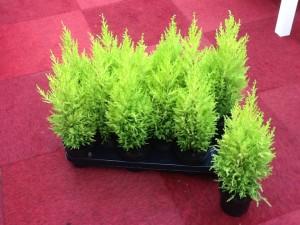 Cypress in room conditions, how to look, photos, description