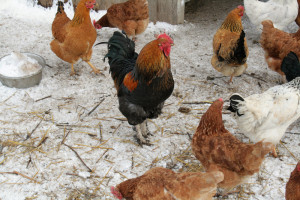 The conditions of laying hens at the cottage in winter, at home, that they were carrying eggs. Proper feeding
