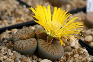 Cactus Lithops, the living stones, cultivation, planting indoors, home, photo