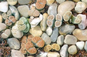 Flowers, seeds lithops from home content