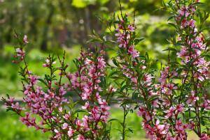 Description almond bush or steppe low bobovnik, photo
