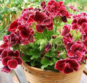Reproduction pelargonium (geranium) seeds at home, photos, description