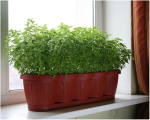 Planting and growing greens, parsley in winter on the windowsill of the apartment, photos, description