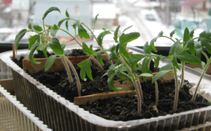 Seedlings of tomatoes after picking, photo
