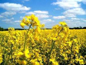 The best fertilizer for canola, description, characteristics