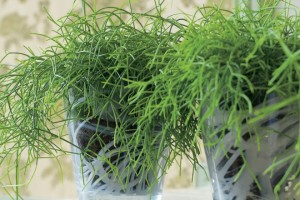 Room Rhipsalis cactus, care, cultivation, planting, breeding and description in the home
