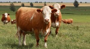 Simmental breed cows photo, description, characteristics