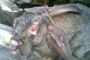 Rabbits disease - aureus, treatment, symptoms, photo and description