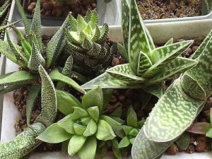 Succulents in the home, views, photo, name