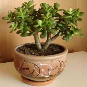 Beautiful houseplant money tree, photos, description