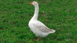 Photos Arzamas goose breed characteristic for home breeding description
