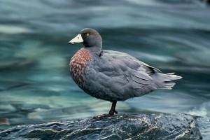 Description, characteristics of the Swedish blue duck for domestic breeding, photo