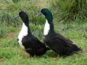 Photos, description, characterization Whitechest breed ducks for home breeding
