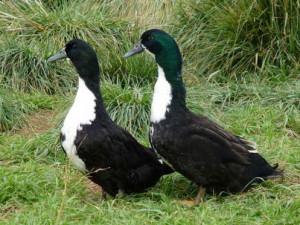 Photos, description, characterization Whitechest breed ducks for home breeding