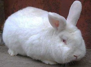 New Zealand White rabbits, photos, description