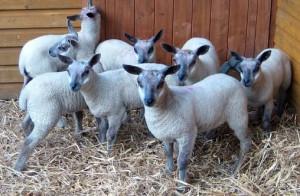 Meat breed of domestic breeding, photos, description, characteristics