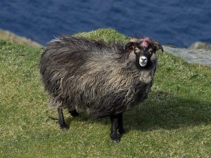 Description of the North the sheep, photo, characteristics and breeding