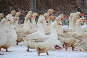 Adler goose, photo, meat breed characteristic for home content description