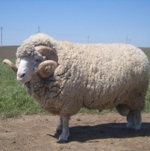 Breeds of sheep in the Altai Territory, photos, description, characteristic for home breeding