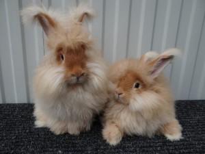 Angora fluffy pet rabbit, photo, description and characteristics