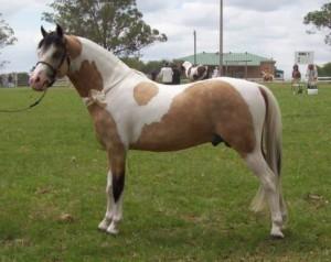 Photos, description, characteristic of the breed Australian pony