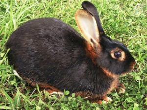 Rabbit breed black fire, photo, description, characteristics