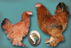 Breed chickens Dawn fawn, characterization, description, photos