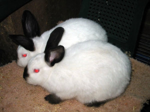 Growing californian rabbits breed, photos, description