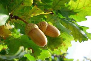 Листя дуба, від яких хвороб лікує і допомагає.