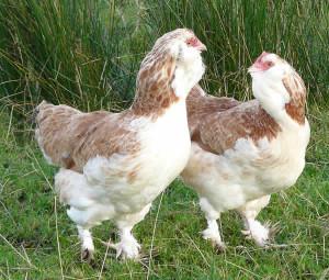 Description, photos, breed characteristics to domestic breeding
