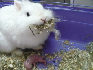 Jack rabbit, cleaning, care of newborn rabbits, description, photos