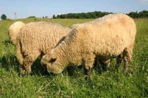 Characteristic breeding at home, Gorky sheep, photos, description
