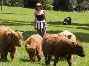 Breed mini Highland cows, photo, description, characteristic for cultivation in Ukraine and Russia