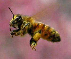 Italian breed of bees, description, photos, characteristics
