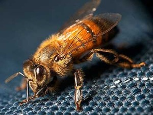 The smallest breed of bees - a dwarf. Photos, description