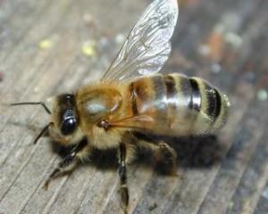 Characteristics, description, Carpathian bee photo. Breeding at home