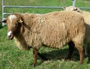 Description breeding at home, photo, characteristics