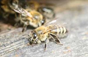 The main characteristics of the breed of bees Krajina, photos, description