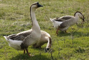 Photos, description, breed characteristics Kuban goose for home breeding